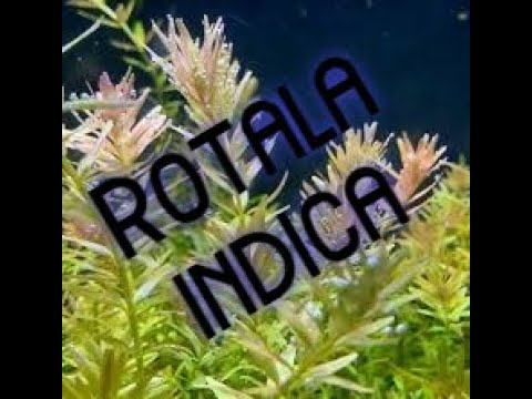 Care and Growth of Rotala Indica