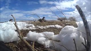 Охота на гуся с чучелами. Весна 2017