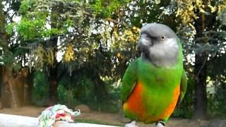 Popular Senegal parrot Videos