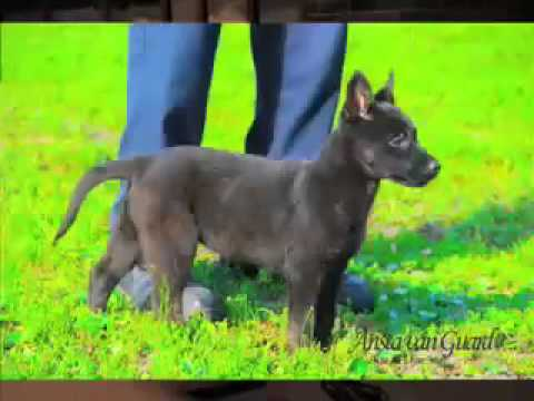 PROTECTION DOG TRAINING BASIC 1