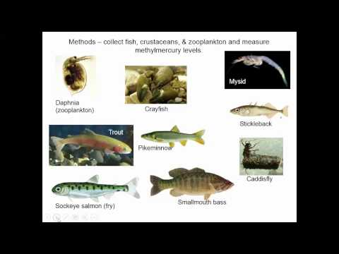 Biomagnification And Bioaccumulation Case Study: Mercury In Fish