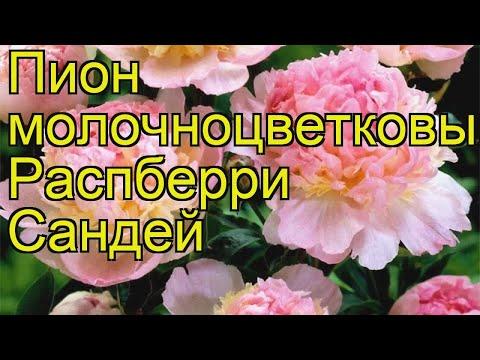 Пион молочноцветковый Распберри Сандей. Краткий обзор, описание paeonia lactiflora Raspberry Sundae
