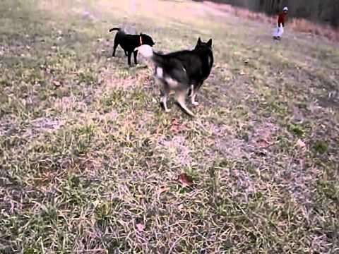 HUSKY PITBULL MIX - YouTube |Wolf Pitbull Mix