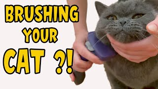 Do I Need to Brush My Shorthair Cat? British Shorthair Cat Tolerates Brushing  Funny and Cute Faces