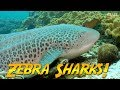 Zebra Sharks of Oman | JONATHAN BIRD'S BLUE WORLD