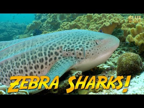 Zebra Sharks of Oman | JONATHAN BIRD'S BLUE WORLD