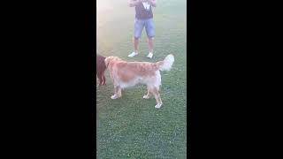 Dogs Fight Over Female Rottweiler