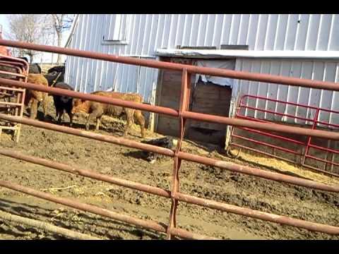 Feeding Feeder Cattle Youtube