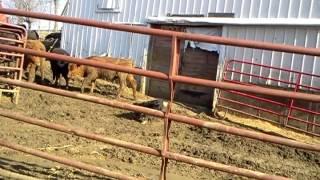 Feeding Feeder Cattle