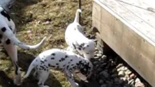 Summit Dalmatians, 1st Time Outside
