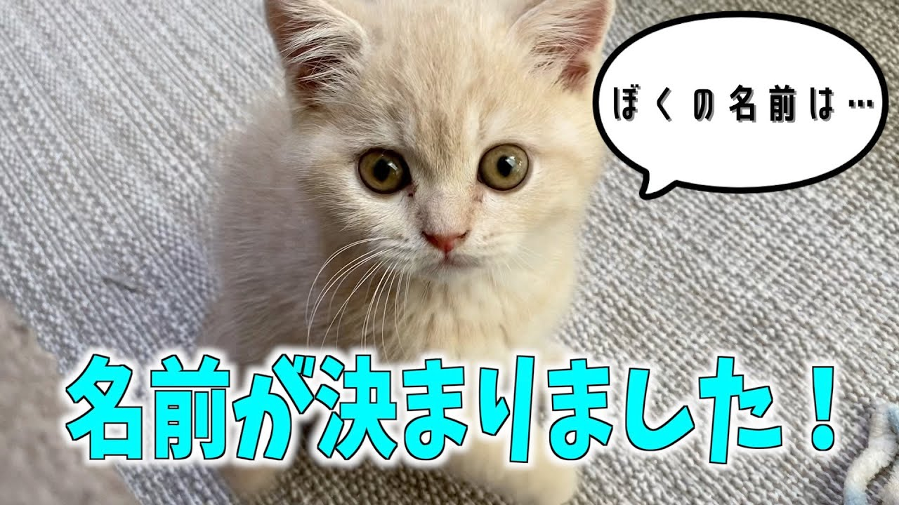 【2日目】子猫の名前が決まりました^^ ‖ ブリティッシュショートヘア ‖ ミヌエット ‖