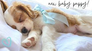 GETTING MY NEW PUPPY!   Cavapoo/Cavoodle!