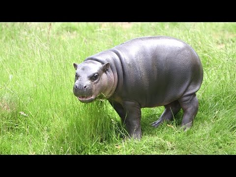 Baby pygmy hippo is enjoying the sun!