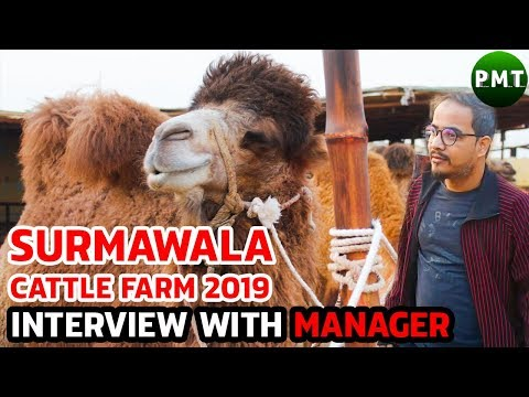 exclusive-interview-of-surmawala-cattle-farm-2019-marketting-manager-about-two-humps-imported-camels