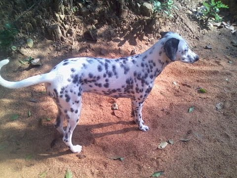 Dalmatian puppy in jungle ESK TV