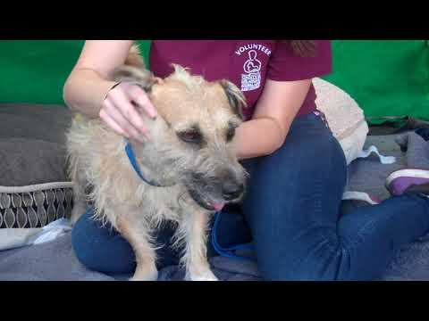 A5228438 Aaron | Cairn Terrier