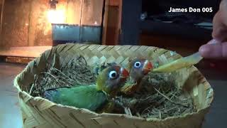 Video Induk Pastel Euwing x Olive Dada Kuning Anakan Keluar Green Euwing dan Ijo Dark Green download MP3, 3GP, MP4, WEBM, AVI, FLV Juni 2018