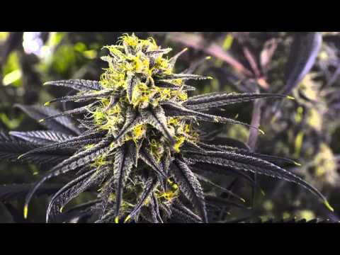 Zombie Kush Cannabis Plant Ripper Seeds In 4K
