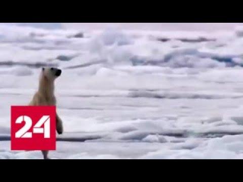 Белые медведи терроризируют поселок в Архангельской области - Россия 24