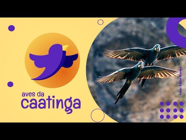 AVES DA CAATINGA #09 - Arara-azul-de-lear (Andorhynchus leari)