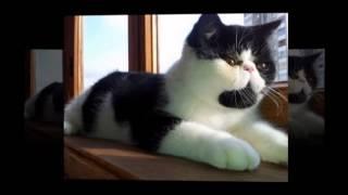 Короткошерстные коты, ушастая прелесть