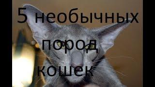 ТОП 5 НЕОБЫЧНЫХ ПОРОД КОШЕК!