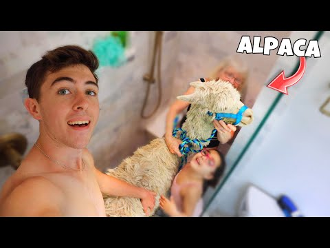 Giving My Pet Alpaca His First Shower...