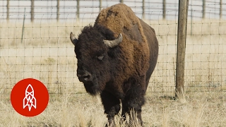Dances with Bulls: The Great Bison Roundup