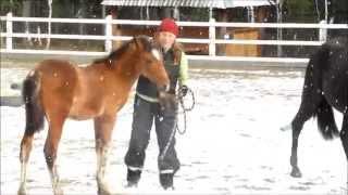 Веренея  15 11 2015. Заездка молодой лошади, Видео(Жеребенку 4.5 месяца. Занятия ведутся по авторской методике Юлии Худяковой. http://happy-horses.ru., 2015-11-16T18:32:46.000Z)