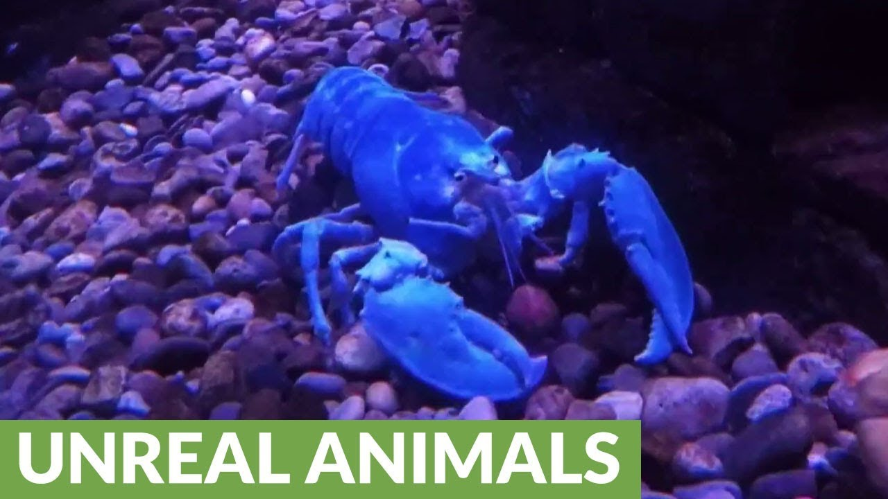 Rare Albino Lobster Forages For Food Youtube