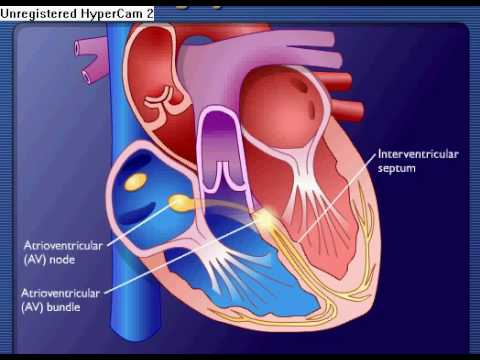 Conducting System Of The Heart - YouTube