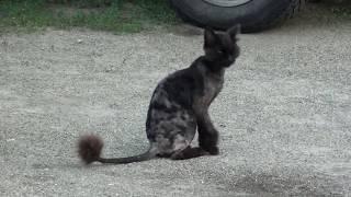 Смешной кот. Подстрижен под льва.