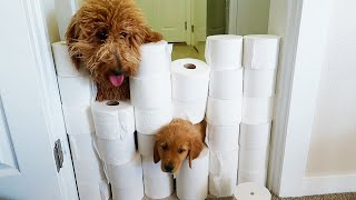 Puppy VS. Toilet Paper Wall! Dog Challenge
