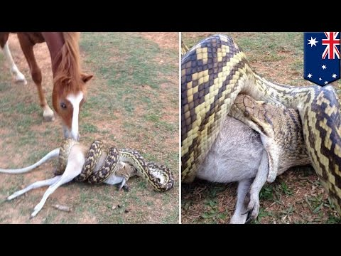 Python snake attack: Horse watches large python swallowing wallaby in Australia - TomoNews