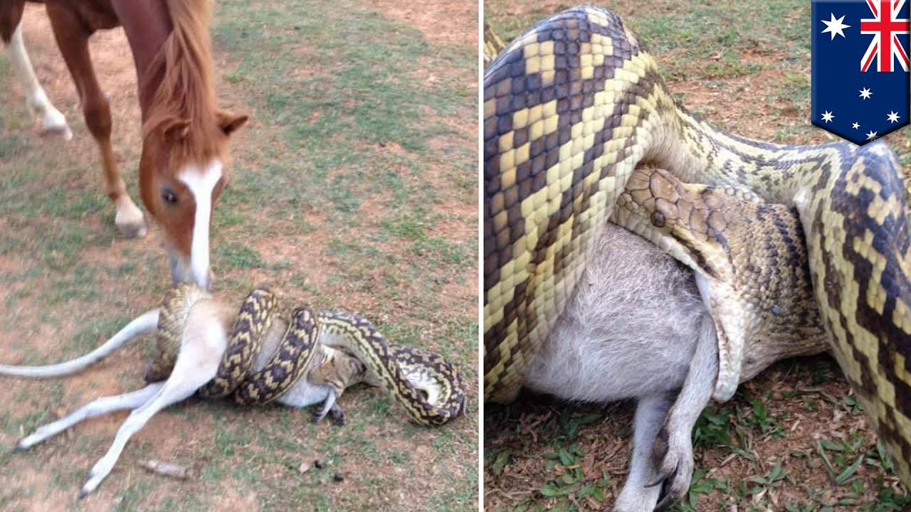 Python Snake Attack Horse Watches Large Python Swallowing