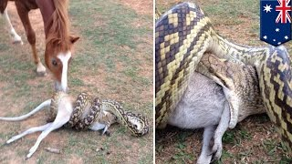 Repeat youtube video Python snake attack: Horse watches large python swallowing wallaby in Australia - TomoNews