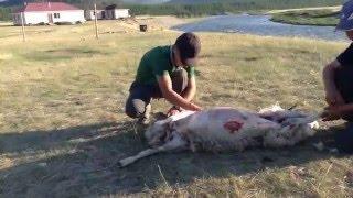 Разделка барана. Монголия(Фильм о том, как в Монголии разделывают барана., 2015-09-03T07:12:01.000Z)