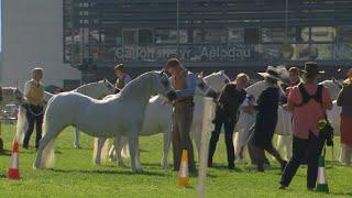 Merl. Myn.Cymreig Cas.Wag neu Adf.4|Welsh M.Ponies Barr.Mare or Geld 4