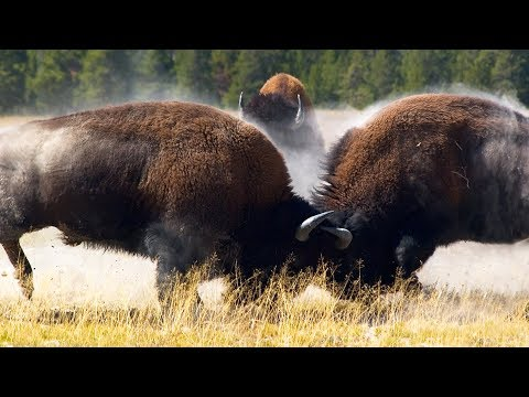 Combat de bisons impressionnant - ZAPPING SAUVAGE