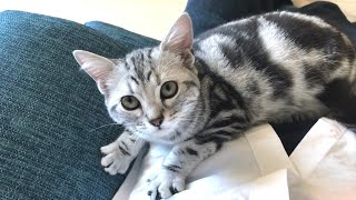 Affectionate American Shorthair Cat