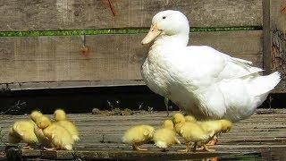 Маленькие желтые утята домашней утки, Little ducklings