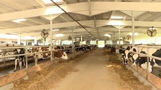 Чехиядагы уй фермасы
