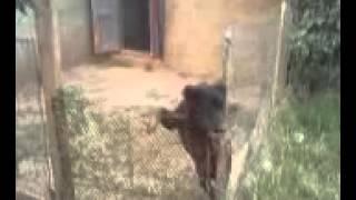 pakhwal jhelum bakarwal dog of ch waqas