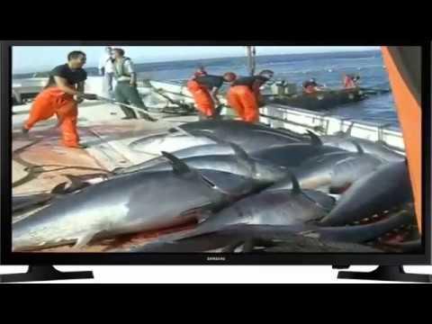 Makro raksasa nelayan tuna sirip laut, itu indah, begitu banyak jumlah individu