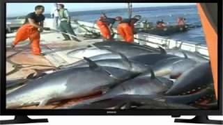 Download Video Makro raksasa nelayan tuna sirip laut, itu indah, begitu banyak jumlah individu MP3 3GP MP4