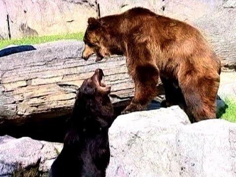 Brown Bears | Chapultepec Zoo