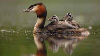 Тайная жизнь водоплавающих птиц - Птицы России - Фильм 22