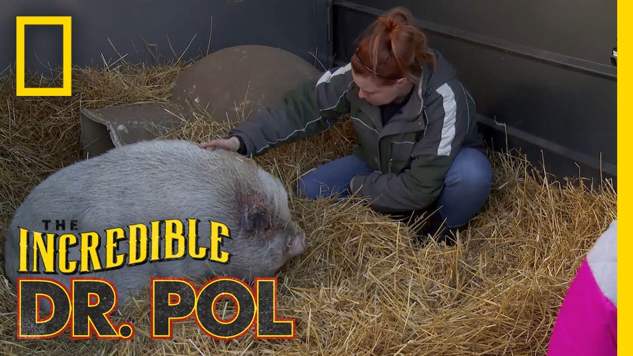 Helping a Pig Pig in Need | The Incredible Dr. Pol