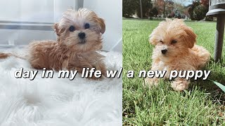 a day in my life with a new *maltipoo* puppy
