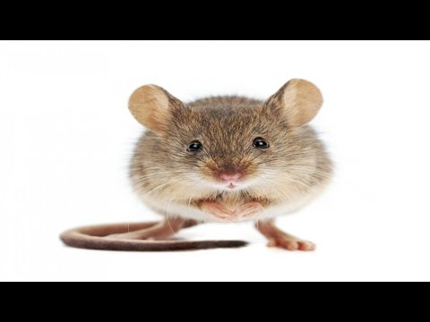 Mouse Distress Call - Sound Effect ▌Improved With Audacity ▌